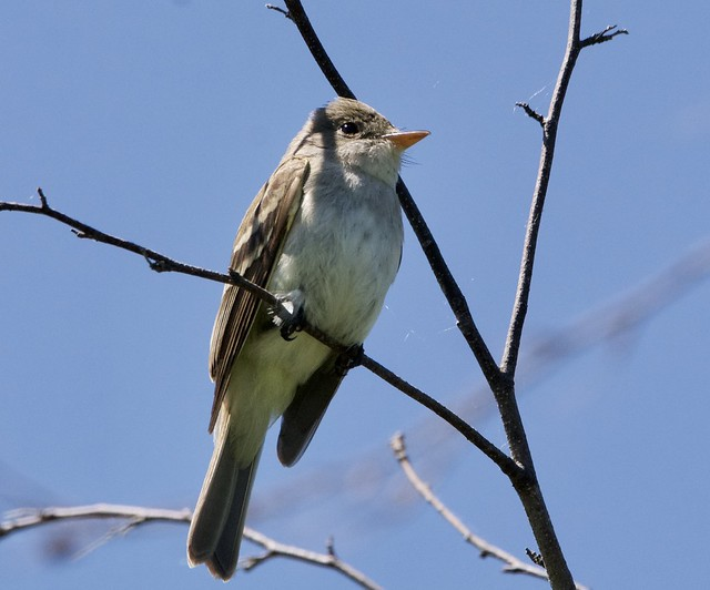 Willow(?) Flycatcher