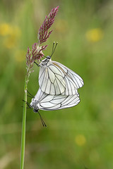 Aporia crataegi-Groot geaderd witje-Black-veined White