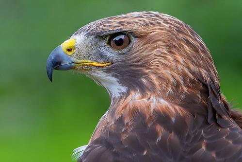 A predator's look | SONY ⍺7III & EF100~400L IS II on Metabones T Mark V | animal eye-AF