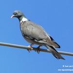 Aves en las lagunas de La Guardia (Toledo) 9-6-2019