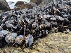 Field of mussels 1, Dana Point Tide Pools, Dana Point, California, USA
