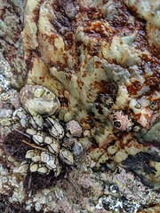 Barnacles and mussels, Dana Point Tide Pools, Dana Point, California, USA