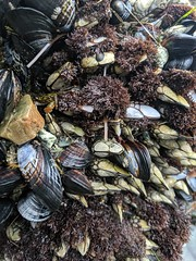 Mussels  and seaweed, Dana Point Tide Pools, Dana Point, California, USA