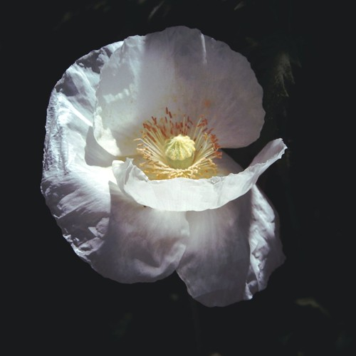 Light and shadows (White poppy)