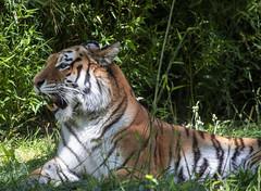 Smithsonian National Zoo 21 May 2019  (1161) Amur Tiger