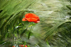 Gentil coquelicot - Photo of Schweighouse-sur-Moder