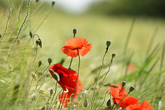 Charme des coquelicots - Photo of Schweighouse-sur-Moder