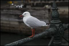 Hello cold Sea Gull Sydney Circular Quay=