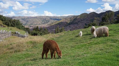 Alpagas of Cuzco