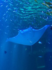 Raie Manta, Aquarium Nausicaa, Boulogne Sur Mer, France