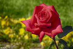 013816 - Rosa