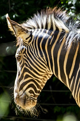 Smithsonian National Zoo 21 May 2019  (1206) Grevy's Zebra