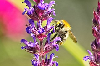 Wildbiene auf Ziersalbei