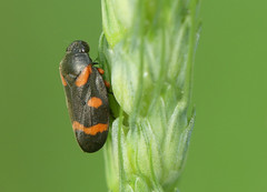 Froghopper (Cercopis intermedia) - Photo of Cause-de-Clérans