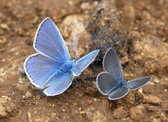 Common Blue (Polyommatus icarus) and Small Blue (Cupido minimus) - Photo of Baneuil