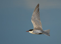 Guifette Moustac - Whiskered Tern (Chlidonias hybrida) (3)