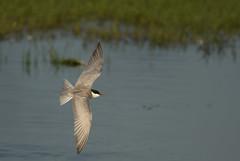 Guifette Moustac - Whiskered Tern (Chlidonias hybrida)