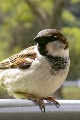 Uccello. Passerotto.