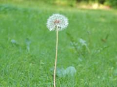 better dandelion