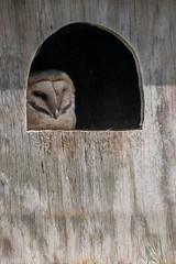 Barn Owl (juvenile)