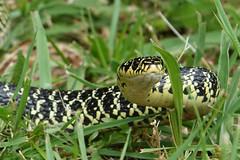 Couleuvre verte et jaune - Photo of Pompignac