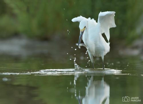 Garcita Blanca