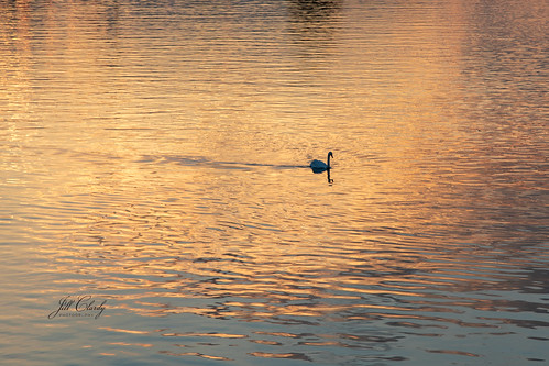 Swan Sunset on The Rhine