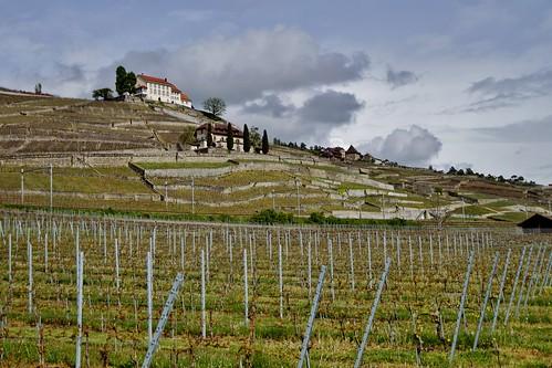 Lavaux - vignobles 1