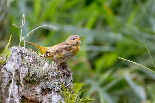 canário-da-terra-verdadeiro (Sicalis flaveola)