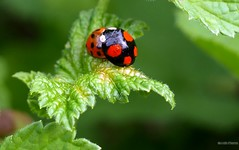 Harmonia axyridis 2 - Photo of Alençon