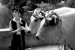 L'enfant et les vaches
