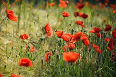 Coquelicots charmants - Photo of Schweighouse-sur-Moder