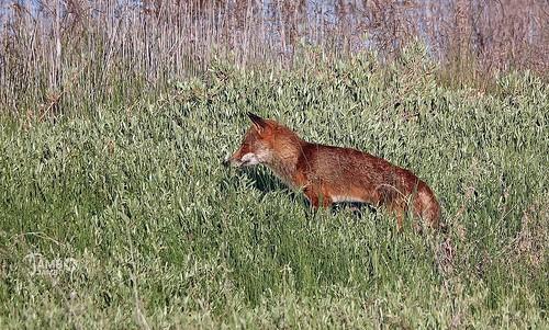Tra l'erba alta della palude - In the tall grass of the marsh