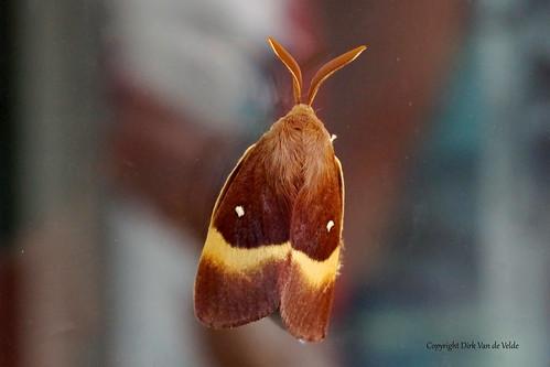 Kleine hageheld Lasiocampa trifolii