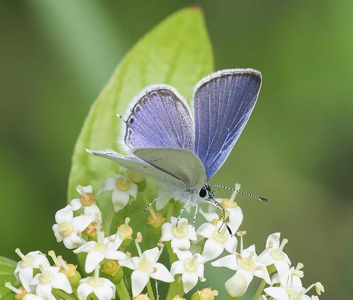 Western Tailed Blue - Cupido amyntula (Lycaenidae, Polyommatinae, Polyommatini) 119y-6091868