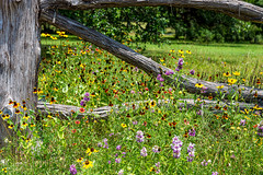 Image by Mi Bob (springlake) and image name Texas Wildflowers photo  about Near Smithville Tx