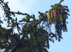 Picchio muratore europeo (Sitta europaea) - Photo of Orgerus