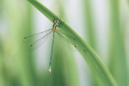 Emerald damselfly (explored)