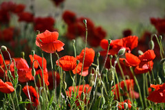 Rouge coquelicot - Photo of Schweighouse-sur-Moder