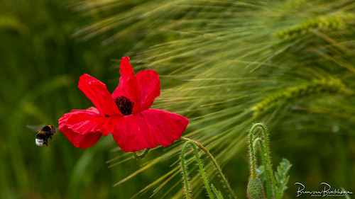 Poppy, Humble Bee and Barley