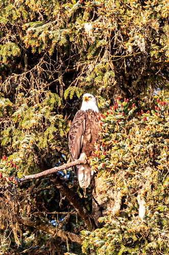 Preview of our holiday in Canada and Alaska. - Bald Eagle,  Icy Straight Point, Alaska.
