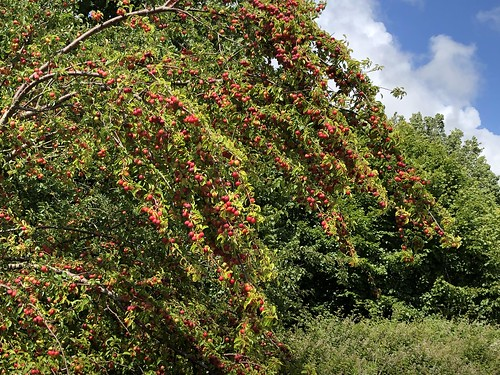 Prunier-cerise / Kirschpflaume / Слива вишненoсна  (Prunus cerasifera)