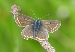 Brown Argus (Plebeius agestis) - Photo of Baneuil