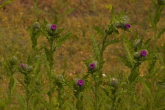 Clustered Thistle