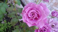 Backyard Roses