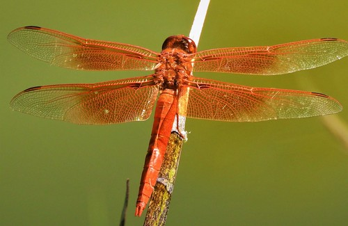 First Flame Skimmer Dragonfly of the year!