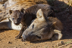 Hyena pup and mom