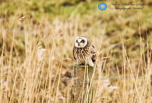 Short-eared owl at Ezumakeeg near Anjum(FR) Netherlands - 15th of march 2016.