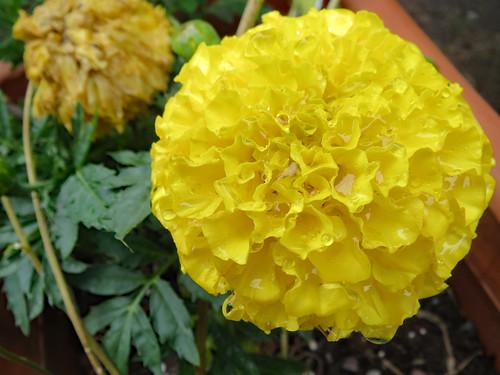 Marigold After A Rain.