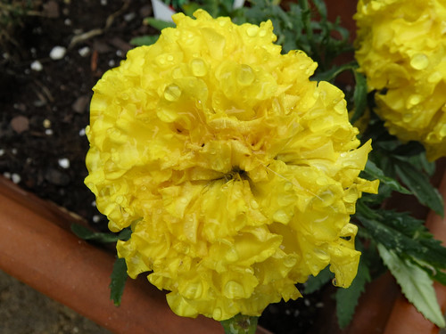 Bright Yellow Marigold.